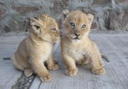 Los leoncitos